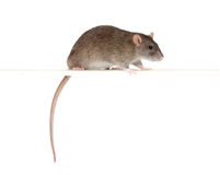 Rata en una perca Foto de archivo