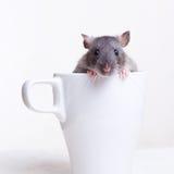 Rata en una taza Fotografía de archivo libre de regalías