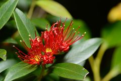 Rata flowers growing at Otira Gorge Royalty Free Stock Photography
