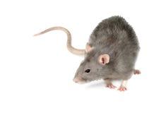 Rata gris Imagen de archivo