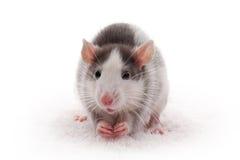 Rata gris doméstica linda foto de archivo libre de regalías