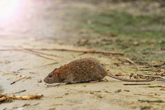 Rata gris en el lago de la basura con apuroses soleados Fotos de archivo libres de regalías