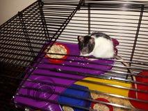 Rata linda del animal doméstico que dice hola te amo fotos de archivo libres de regalías