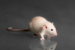 Rata linda del bebé que se sienta en rectángulo del jewelery Imagen de archivo