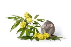 Rata linda en un fondo aislado blanco Cerca de wildflowers delicados El s?mbolo de 2020 Animal dom?stico lindo