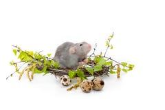Rata linda en un fondo aislado blanco Jerarqu?a de las ramas del abedul Al lado de la jerarqu?a son los huevos de codornices Anim