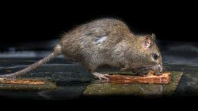 Rata marrón salvaje en agua fotografía de archivo