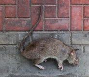 Rata muerta Fotos de archivo libres de regalías
