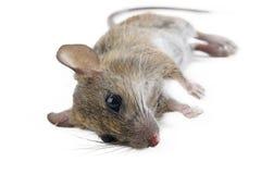 Rata muerta Imagen de archivo libre de regalías