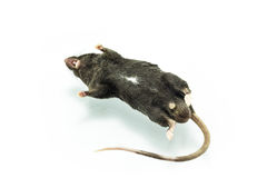 Rata muerta Fotografía de archivo libre de regalías