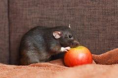 Rata negra del animal doméstico que come la manzana Imágenes de archivo libres de regalías