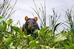 Rata negra que mira a escondidas prudentemente de la hierba Imagenes de archivo