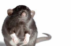 Rata puesta mala cara. Foto de archivo