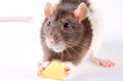 Rata que come el queso Imagen de archivo libre de regalías