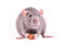 Rata que come las almendras Fotos de archivo libres de regalías