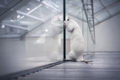 Rata que mira hacia fuera de sueño con la libertad Fotos de archivo