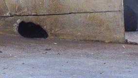 Rata que pasa a través de los agujeros almacen de video