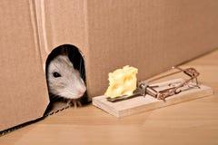 Rata, ratonera y queso Fotos de archivo