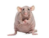 Rata sin pelo (2 años) Foto de archivo