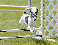 Rata Terrier en el ensayo de la agilidad del perro fotos de archivo libres de regalías