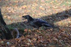 Rata y cuervo Fotos de archivo libres de regalías