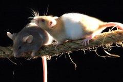 ratas Foto de archivo