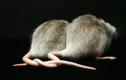 Ratas con las colas conectadas Fotos de archivo