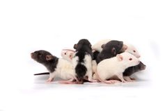 Ratas del bebé que suben en uno a Fotos de archivo libres de regalías