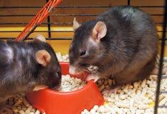 Ratas en una jaula Foto de archivo