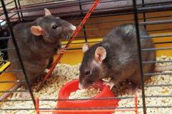 Ratas en una jaula Imagen de archivo libre de regalías