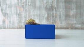 Ratas que se sientan en caja azul