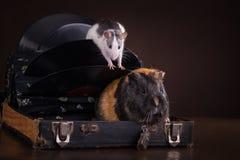 Ratas y conejillos de Indias Foto de archivo