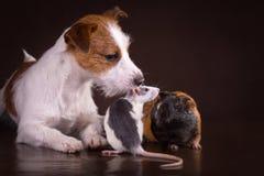 Ratas y conejillos de Indias y perro Fotos de archivo