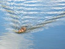 Ratazana de água Fotos de Stock Royalty Free