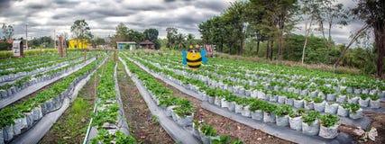 RATCHABURI,泰国- 12月29 :草莓灌木在增长 免版税库存图片