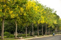 Ratchaphruek树& x28; 黄金雨树,桂皮fistula& x29;泰国的全国花 库存照片