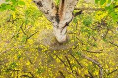 Ratchaphruek, doccia dorata, caduta asciutta della guaina gialla della foglia del koon Fotografia Stock