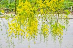Ratchaphruek, doccia dorata, caduta asciutta della guaina gialla della foglia del koon Immagini Stock Libere da Diritti