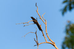 Ratchet-tailed Treepie Royalty Free Stock Photography