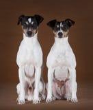 Ratdog man och kvinnlig Royaltyfria Bilder