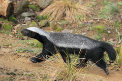 Ratel Royalty Free Stock Images