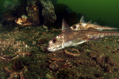 Ratfish Royalty Free Stock Photos