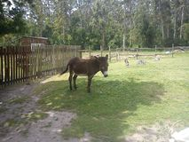 It is a donkey royalty free stock photos