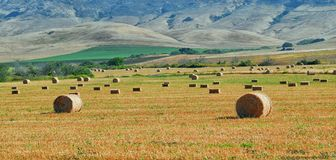 Field of gathered hay bales with the Central California hills in the background. Royalty Free Stock Image