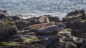 Rathlin Island Northern Ireland. Great Britain home to hundreds of seals royalty free stock photo
