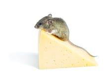 Ratón con queso Fotografía de archivo libre de regalías