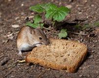 Ratón de campo rayado, agrarius del Apodemus Imagenes de archivo
