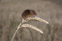 Ratón de cosecha, minutus de Micromys Imagenes de archivo