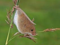 Ratón de cosecha/minutus de Micromys Imagen de archivo