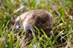 Ratón verdadero en la hierba Fotos de archivo